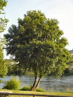 O amieiro ou ameneiro alnus glutinosa en todlos ros galegos for Tipos de arboles y caracteristicas