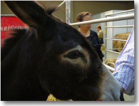 Burro fariñeiro  Equus asinus  Asno  A vida nos ríos de Galicia