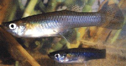 Gambusia holbrooki gambusia gambusia a vida nos ros for Pozos para peces
