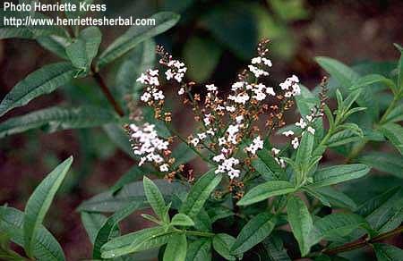Aloysia triphylla herba luisa hierba luisa a vida nos for Salsa de hierba luisa